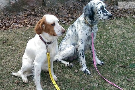 english setter show dogs for sale english setter puppy for sale near ann arbor michigan
