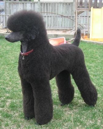 grooming standard poodles cuts poodle cuts pictures of different poodle cuts poodle