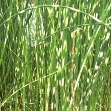 Tanaman Cattail Bulrush tanaman mosaic plant false loosestrife bibitbunga