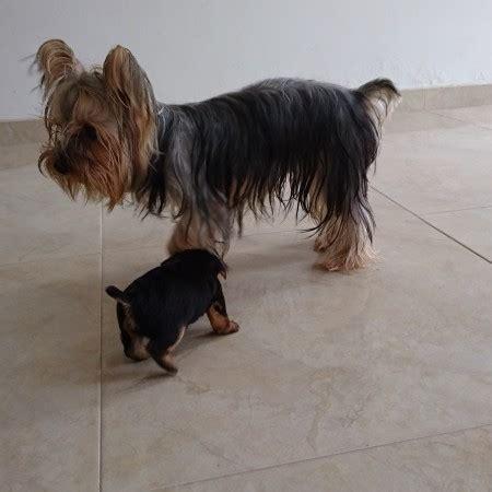 perros yorkie en venta venta de perros terrier en barranquilla dogs our friends photo