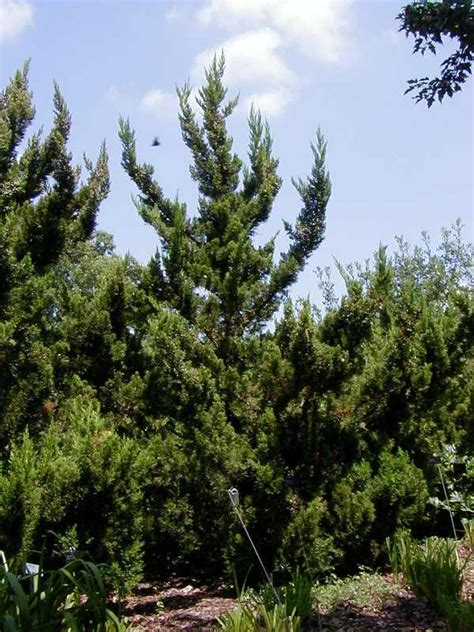 best trees rating best upright junipers in the midwest ratings reviews