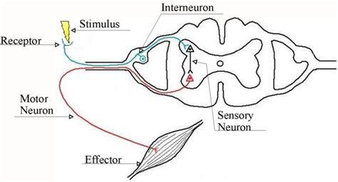 diagram of the reflex arc reflex arc nervous system quotes
