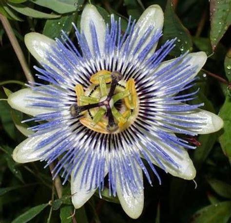 passiflora fiore della passione passiflora
