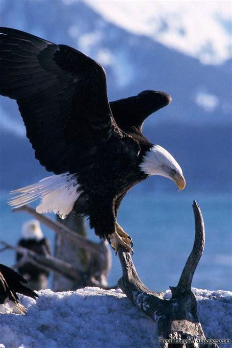 google images eagle eagle google search eagles pinterest