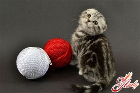come alimentare un gatto per alimentare un fold gattino scozzese