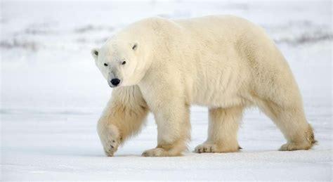 oso polar oso polar 080506902x 191 qu 233 comen los osos polares microrespuestas
