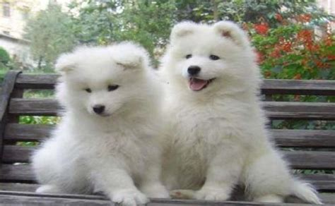 samoyed puppies for sale in ohio 17 best images about samoyede on samoyed dogs pets and sled