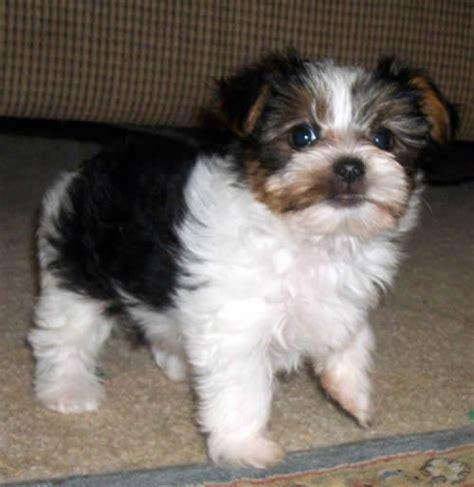 black and white yorkie puppies 113 best teddy zuchon puppies dogs bichon shih tzu mix images on