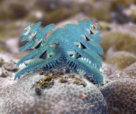 spirobranchus giganteus madang ples bilong mi part 2
