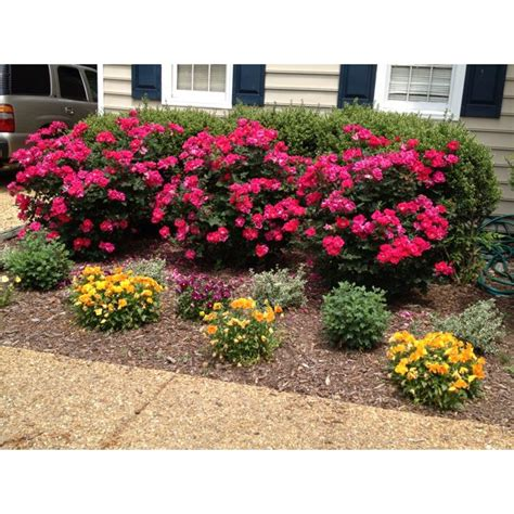 Knockout Roses Landscape Ideas 25 Best Ideas About Knockout Roses On Pool
