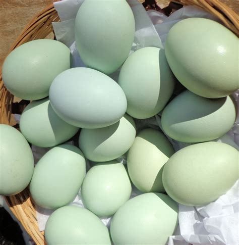 what color are blue eggs ameraucana chickens sercadia