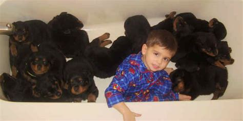 rottweiler fur rottweiler fur coat dogs in our photo
