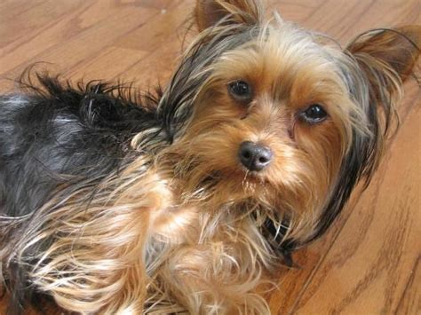 smallest yorkie on record best puppy terrier world s smallest therapy