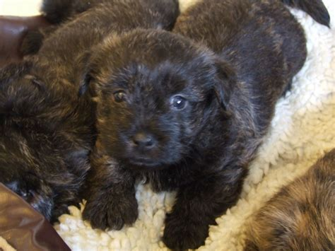 shih tzu cross for sale shih tzu cross westie puppies for sale sheffield south pets4homes