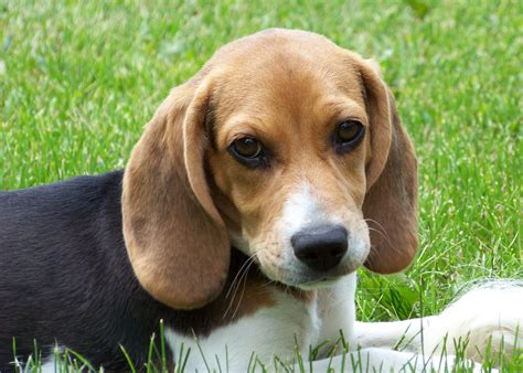 beagle dogs file beagle puppy lilly jpg