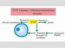 Gamma (γ) Glutamyl Transpeptidase (GGT), Gamma glutamyl ... Gamma Glutamyl Transferase