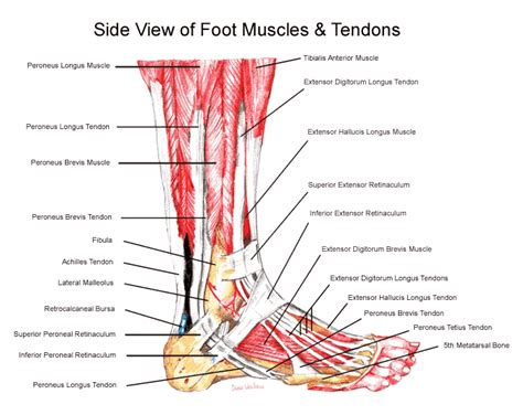 diagram of muscles and tendons foot tendon diagram anatomy