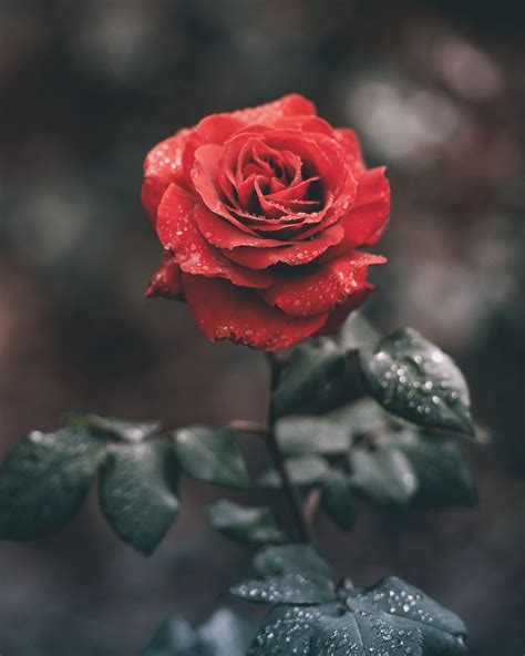 rose themes photos wet red rose photo by ameen fahmy ameenfahmy on unsplash