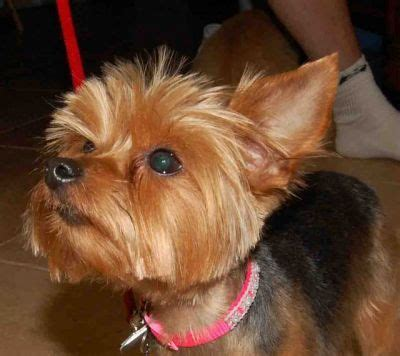 teddy bear cut for teacup yorkie teddy bear yorkie haircut bing images yorkies