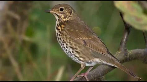 How To Make A Bird Call Out Of Paper - song thrush bird call bird song