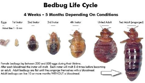 bed bug pictures actual size imgs for gt bedbugs actual size