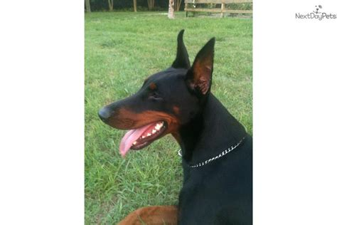 puppies orlando new puppies are added receive an email alert when additional doberman breeds picture