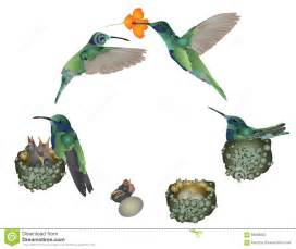 life of hummingbird stock illustration image 58688902