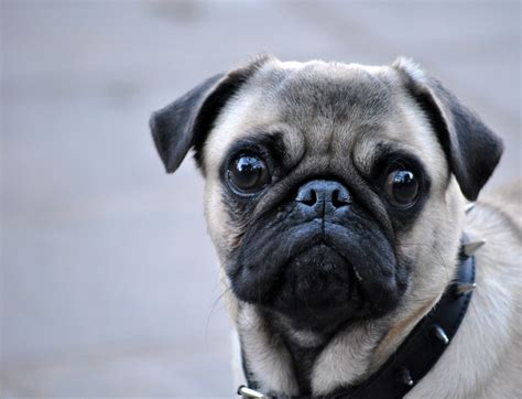 pug pin pin pug o carlino taringa on