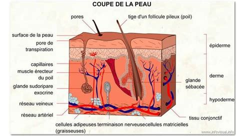 transverse section of skin biologie clea