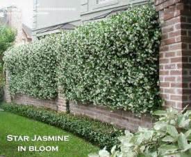 Plantfiles pictures confederate jasmine star jasmine