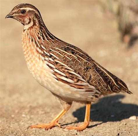 quail farming in india information guide modern