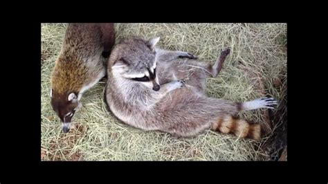 raccoon vs coati vs raccoon