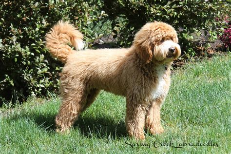 doodlebug australia puppy and grown labradoodle hairstylegalleries
