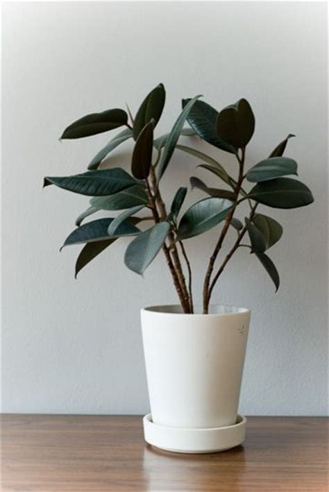 house plants to buy rubber plant plants and ficus on pinterest