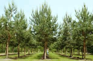Topiary For Sale Uk - pinus sylvestris scots pine