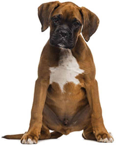royal canin boxer puppy royal canin boxer puppy food 30 lb bag