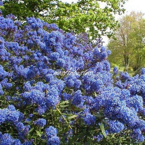 Fleurs Qui Resistent Au Vent by Arbuste A Feuillage Persistant 25 Vente Arbustes