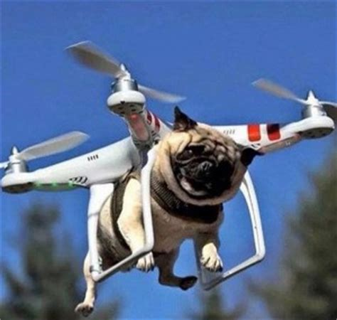the flying pug flying pugs pugs pug can fly