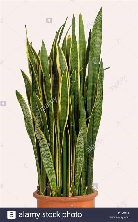 mother in law s tongue mother in law s tongue or snake plant sanseviera