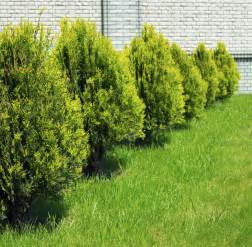 rejuvenating a cypress tree tips on pruning cypress trees