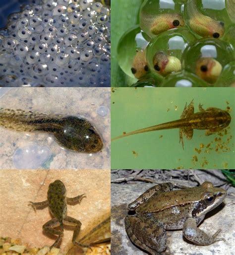 imagenes de animales naciendo anfibios animales vertebrados
