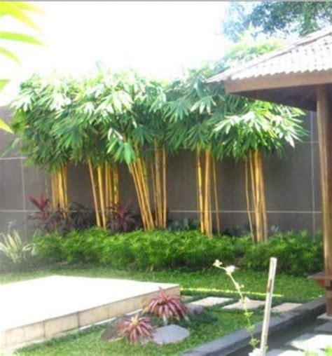 Tanaman Bambu Micro 1 tanaman bambu kuning mini update daftar harga terbaru