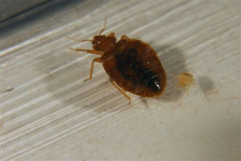 do bed bugs bed bug infestations growing worldwide