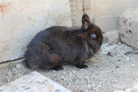 coniglio nano testa di coniglio nano testa di avicoli la selva