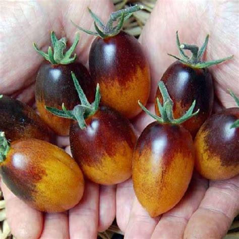 Biji Tomat Indigo tomato indigo kumquat bungahias net