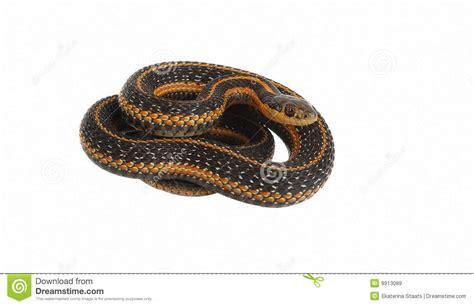 Snake Rolling In garter snake rolling royalty free stock images image