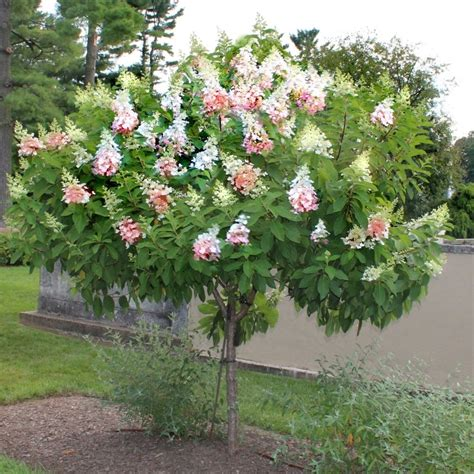 cottage direct cottage farms direct hydrangea tree winky garden