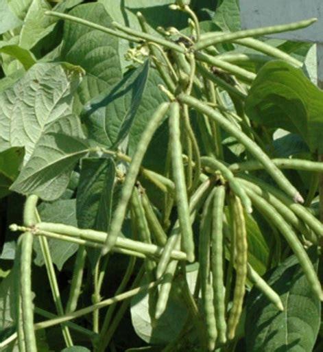 menanam kacang hijau  baik  benar bibitbungacom