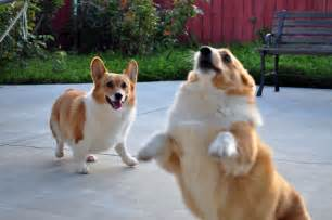 the s corgi corgis around the internet internet culture fredericknewspost com