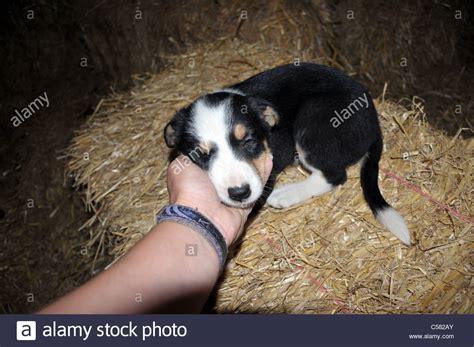 feeding 4 week puppies 6 week stock photos 6 week stock images alamy repair wiring scheme